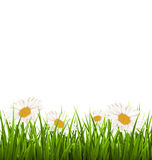 Green grass lawn with white chamomiles isolated on white. Floral Royalty Free Stock Photos