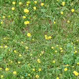 Green grass lawn with yellow dandelions Stock Images