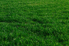 Green grass lawn young wheat big field, background Royalty Free Stock Photos