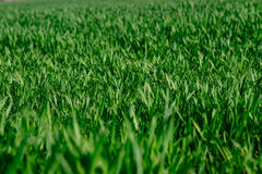 Green grass lawn young wheat big field, close-up Royalty Free Stock Image