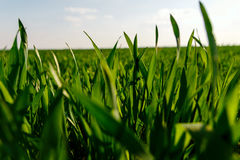 Green grass lawn young wheat big field, close-up Royalty Free Stock Images