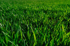 Green grass lawn young wheat big field, close-up Stock Images