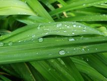 Green grass leaf droplets fresh nature. Sky blue background White hydrangea flower image stock images