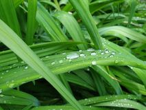 Green grass leaf droplets fresh nature. Sky blue background White hydrangea flower image stock image