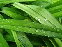Green grass leaf droplets fresh nature. Sky blue background White hydrangea flower image stock photos