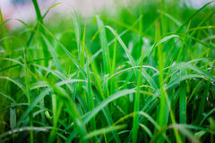 Green grass  leaf with rain drop Stock Images