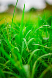 Green grass  leaf with rain drop Royalty Free Stock Image