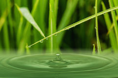 Green  grass leaves with dew drops Royalty Free Stock Image