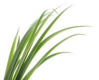 Green grass leaves Royalty Free Stock Photography