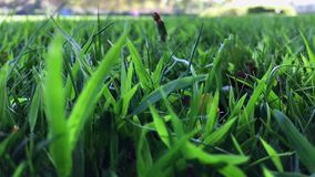 Green grass leaves sway on windy day. Green grass healthy leaves sway on windy day in the middle of September - slow motion, shot on mobile phone stock video footage