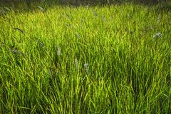 Green grass with light of the sun. Flowering grass soft blur. stock image