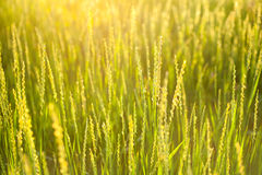 Green grass lighted the sun at sunset nature background Royalty Free Stock Photography