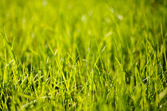 Green grass lighten with sun. Low depth of field Royalty Free Stock Image