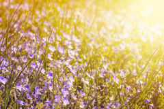 Green grass and little flowers on the field with sunshine Royalty Free Stock Image