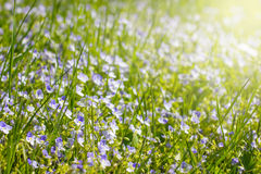 Green grass and little flowers on the field with sunshine Stock Photos