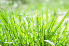 Green grass. With little raindrops Royalty Free Stock Photography