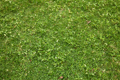 Green grass and little white flower Stock Images