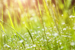 Green grass and little white flowers on the field Royalty Free Stock Photo