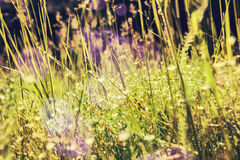 Green grass and little white flowers on the field Royalty Free Stock Photography