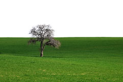 Green grass with lonely tree isolated Royalty Free Stock Photography