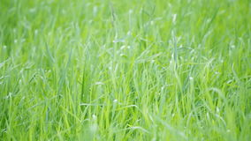 Green grass loop Royalty Free Stock Images