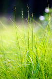 Green grass macro Royalty Free Stock Photography
