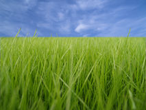 Green grass macro. Grass macro and blue sky on background royalty free stock images