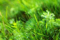 Green grass macro close up Stock Photography