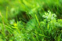 Green grass macro close up Stock Photography
