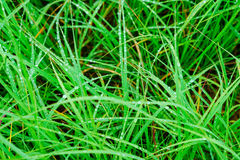 Green grass macro close up with water drops Royalty Free Stock Images