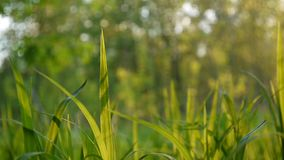 Green grass macro sun shines through the leaves of the grass beautiful background spring stock footage