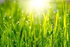 Green grass meadow Royalty Free Stock Image
