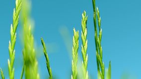 Green grass meadow, blue sky and sunlight in summer, nature background. Landscape, garden and natural environment concept - Green grass meadow, blue sky and stock video footage