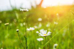 Green grass in the meadow and camomile flowers Stock Photo