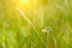 Green grass in the meadow and grasshopper Stock Image
