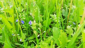 Green grass at the meadow. With wild flowers stock video