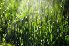Green grass morning. Blurred background green grass morning dew sun rays royalty free stock image