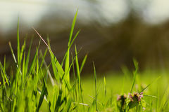 Green grass  morning. Blurred background green grass  morning dew sun rays stock photography