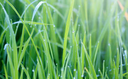 Green grass with morning dew Stock Image