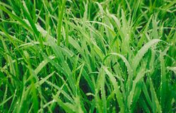 Green grass in the morning dew drops stock photography