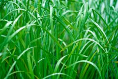 Green grass in the morning dew. Macro. Royalty Free Stock Image