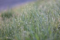 Green grass with morning dew macro bokeh Stock Images
