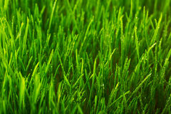 Green grass and morning dew Stock Photography