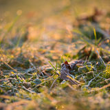 Green grass with morning frost Royalty Free Stock Photography