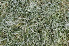 Green grass with morning frost and sun. Frosty morning. Quiet clear weather. Late autumn or early winter. Abstract background from Royalty Free Stock Photography