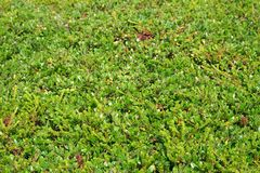 Green grass and moss. Texture of a young green grass and moss. Background, texture, flora stock images