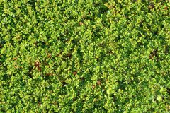 Green grass and moss. Texture of a young green grass and moss. Background, texture, flora stock photography