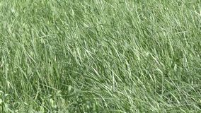 Green grass moving in the wind stock video footage