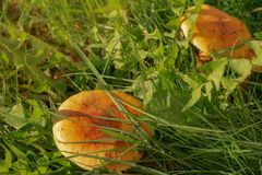 Green grass and mushrooms. Natural mushroom growing. Ecotourism activity. Gathering mushrooms. Pick up mushroom. Ripe mushroom in green grass. Ecotourism royalty free stock image