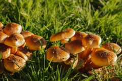 Green grass and mushrooms. Natural mushroom growing. Ecotourism activity. Gathering mushrooms. Pick up mushroom. Ripe mushroom in green grass. Ecotourism stock images